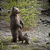 Mama bear and Baby bear, Yellowstone National Park