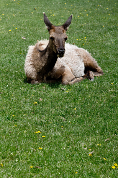 Elk relaxing in the sun, Yellowstone National Park