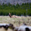 Lazy Elk, Yellowstone National Park