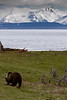 Grizzly hunting for grubs on the shores of Lake Yellowstone