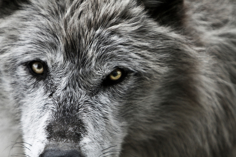 The Eyes of a Predator<br /> Wolf in West Yellowstone