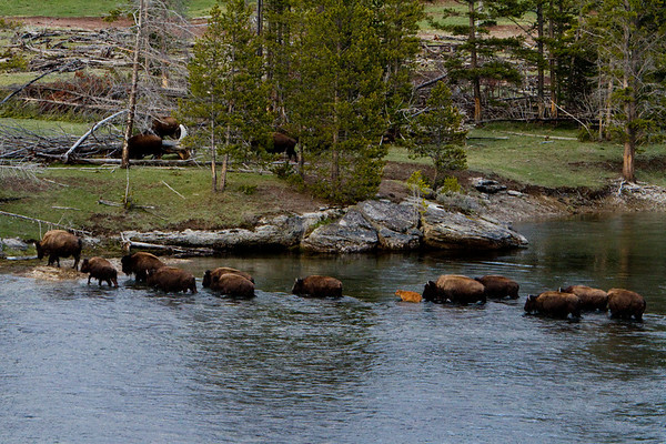 Bison Fording the River, Yellowstone National Park