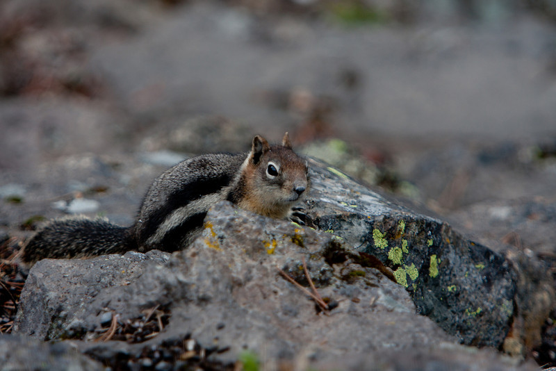 Golden Mantled Squirrel, Yellowstone National Park