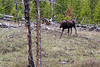Moose, Yellowstone National Park