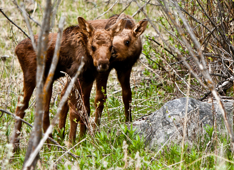 Two baby moose outside of Jackson, Wyoming