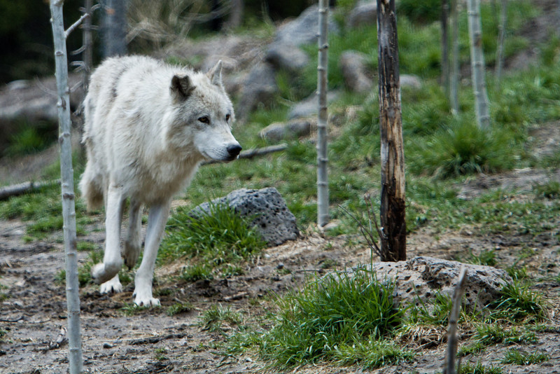 Running Wolf in West Yellowstone