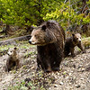 Three Grizzlies, Yellowstone National Park