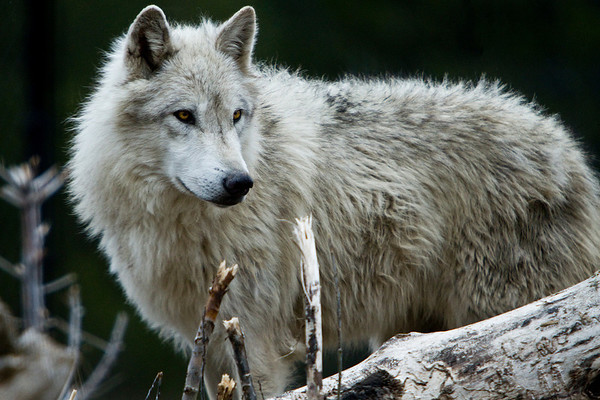 'Alpha Dog' Wolf in West Yellowstone