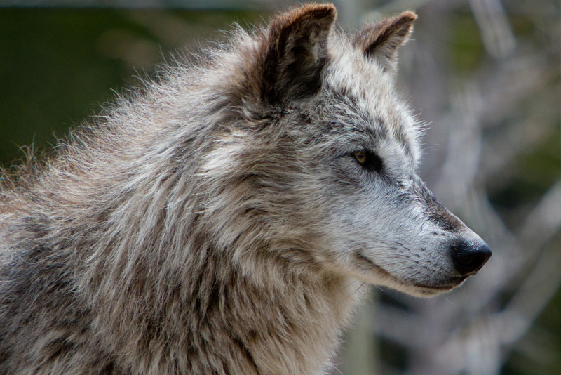 Wolf in Profile, West Yellowstone
