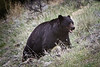 Black bear summits the hill, Yellowstone National Park