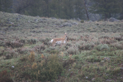 female pronghorn