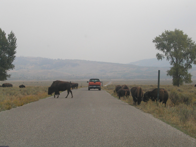 Why Did the Bison Cross the Road...?