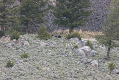 mother black bear and cubs