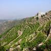 Growing Qat in Yemen