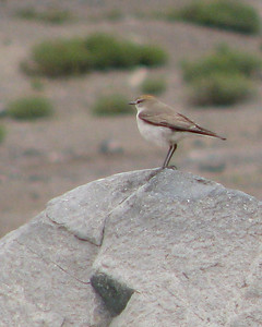 Typical habitat: standing on a rock.