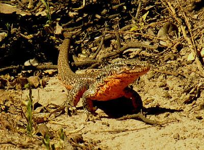 Chilean Lizard