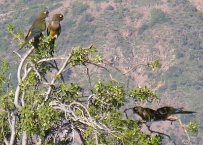 But Burrowing Parrots were in the trees and fields east of the RN.