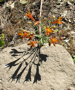 A lily in Chile: Astroemeria species.