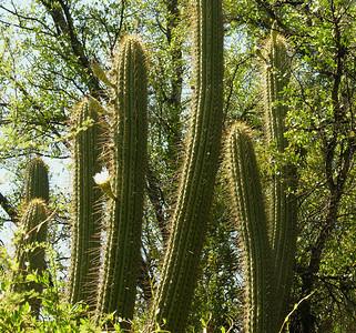 Echinopsis chilensis cactus.