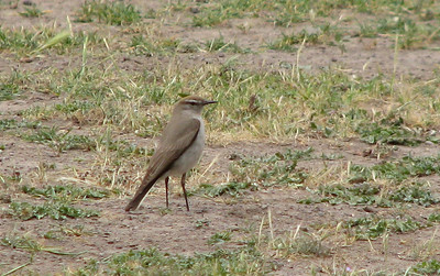 White-browed Ground-Tyrant.