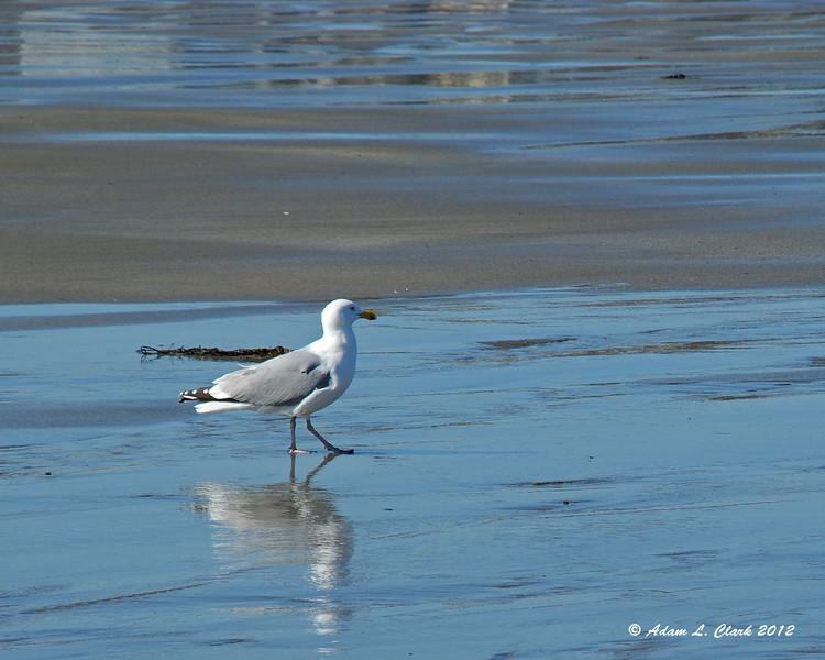 A seagull walking down the beach