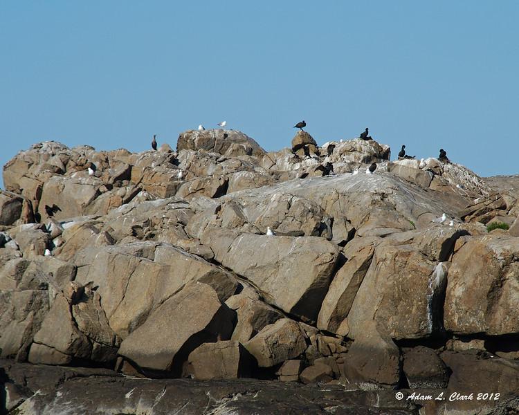 Seagulls and cormorants making the rocks progressively more white