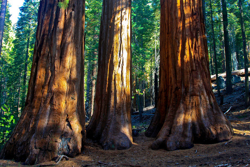 Giant Sequoias in the Mariposa Grove