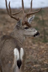 Proud Buck