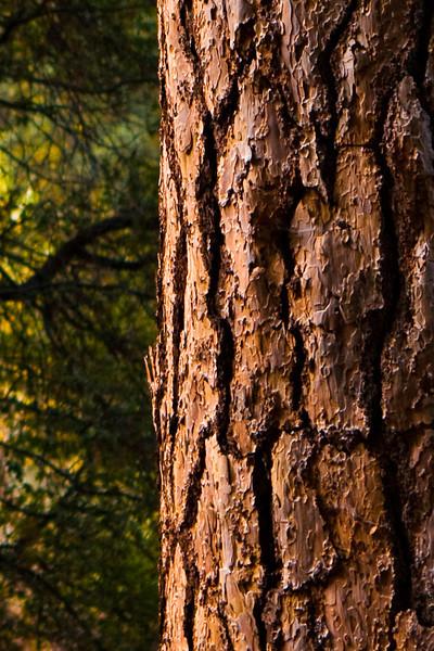 Bark detail, between Sugar Pine Bridge and the Backpacker's Camp.