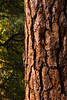 Bark detail, between Sugar Pine Bridge and the Backpacker's Camp.