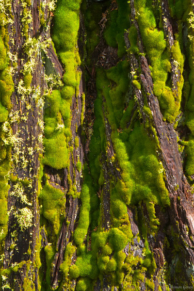 Moss on tree - Yosemite