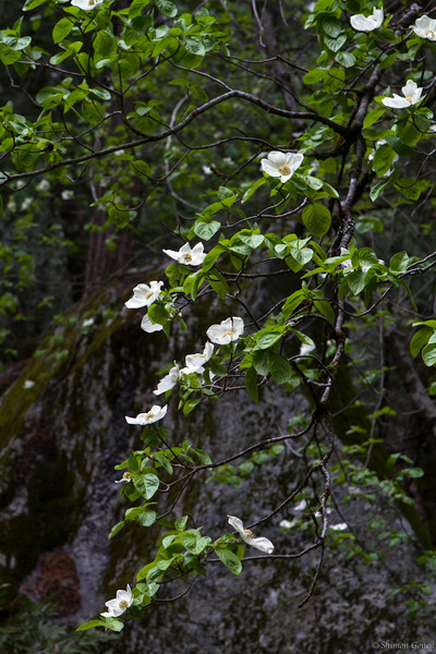 Dogwood blossoms - Yosemite