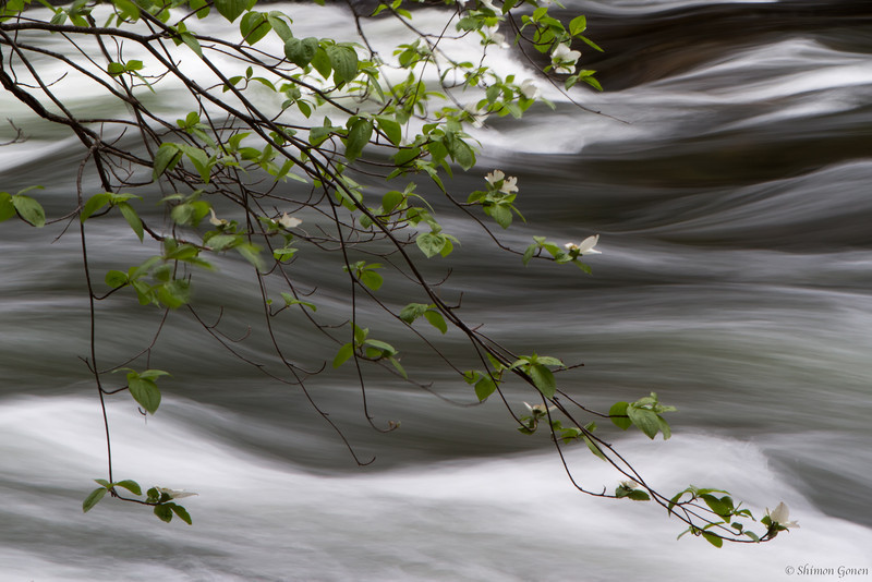 Dogwood over the Merced - Yosemite