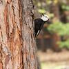 Acorn woodpecker, Yosemite National Park