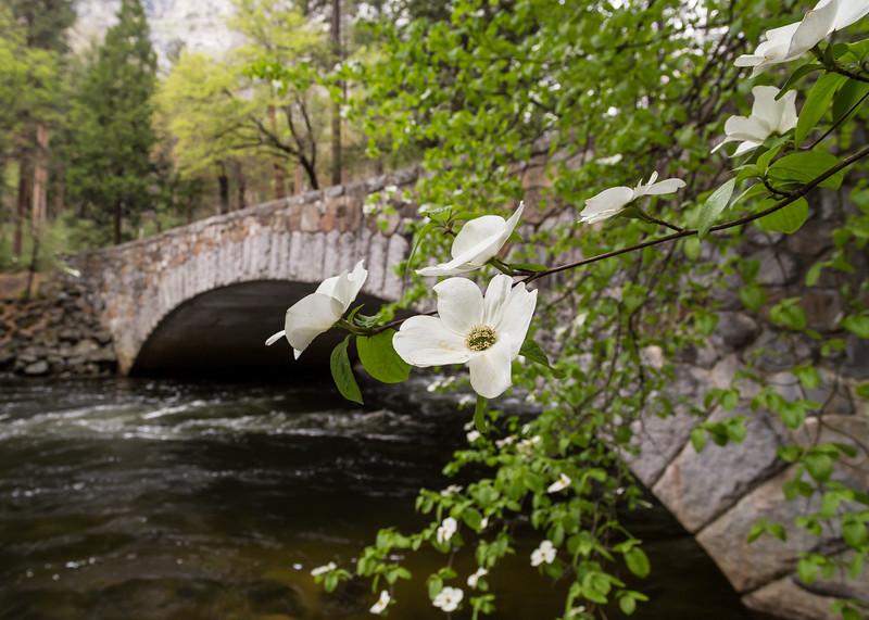 Dogwood, Pohono Bridge, Yosemite National Park