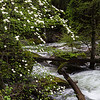 Dogwood, Mirror Lake Trail