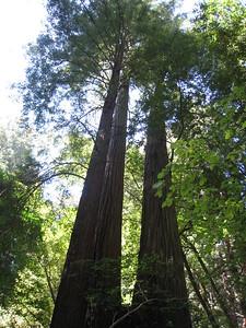 Redwoods (crisp)