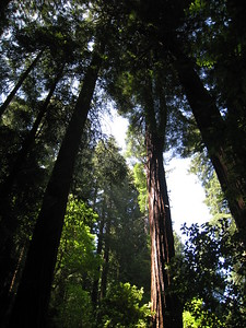 Redwoods Light