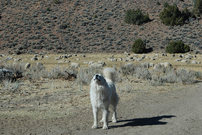 Just outside of Bodie-protecting his sheep from me.