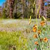 Alpine lily