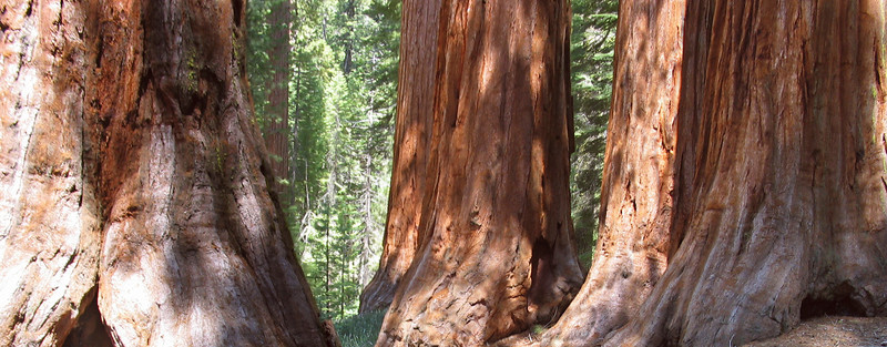 <h2>Bachelor and Three Graces</h2> <br>Mariposa Grove, Yosemite