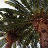 Palmtrees at Stanford.
