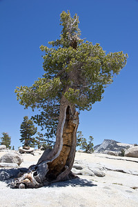 Tree at Olmsted Point, Yosemite