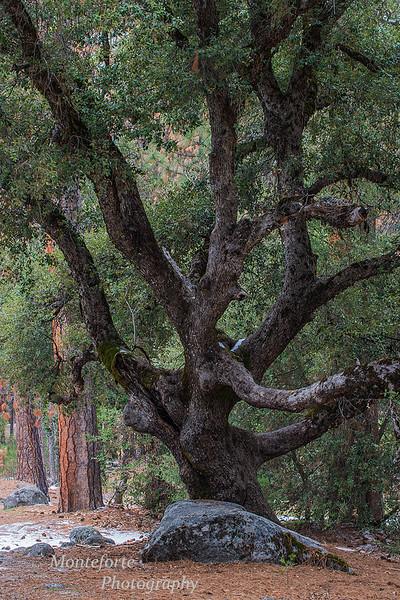 Black Oak Yosemite NP