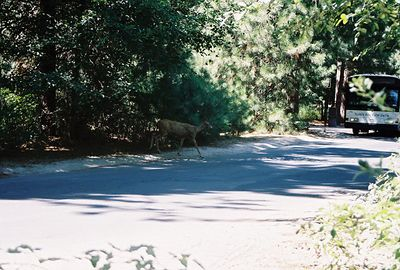 8/17/04 Rather scruffy-looking Mule Deer @ Valley Visitor Center, Yosemite National Park