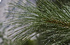 Meanwhile back in the valley, the rain left the Ponderosa Pine needles sparkling.<br /> <br /> Photo by Dennis