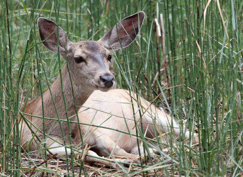 Yosemite National Park. A yearlng fawn resting in the grass. Mom wasn't far away.<br /> <br /> Photo by Dennis