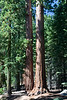 Yosemite National Park. Sequoias in the Mariposa Grove <br /> <br /> Photo by Dennis