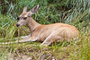 Yosemite National Park. A yearlng fawn resting in the grass.<br /> <br /> Photo by Dennis