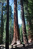 Yosemite National Park. Sequoias in the Mariposa Grove<br /> <br /> Photo by Dennis